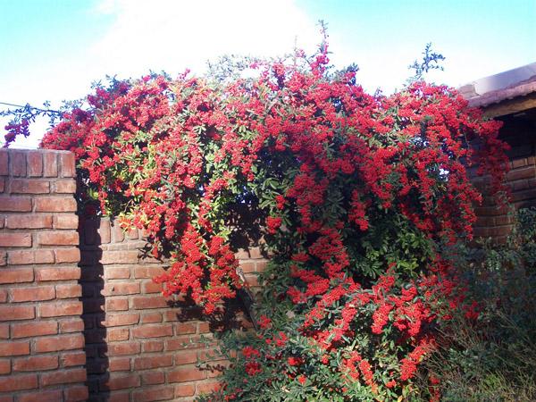 Arbusto - Arbustos de interior ...